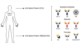 COVID-19 Patient-Derived Neutralizing Antibodies Available nbsp