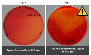 Salmonella from Recent Contamination of Baby Milk Gives Atypical Colonies on XLD