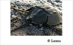 Lonza Horseshoe Crab