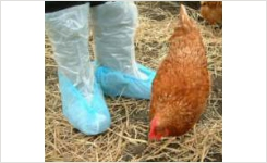 Poultry boot swab