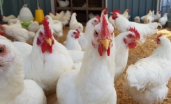 Rapid Salmonella in Poultry and Pork